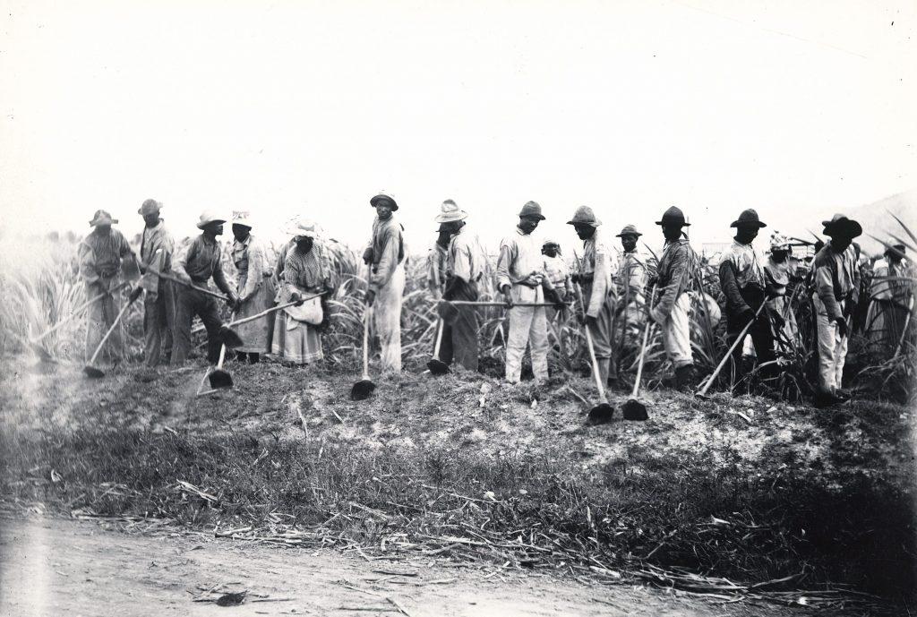 Landarbejdere med hakker i sukkerrørsmark i Dansk Vestindien.